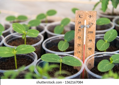 Cucumbers seedlings in a greenhouse and a thermometer showing the temperature of the growing environment - selective focus