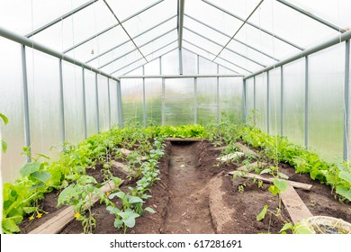 Cucumbers and tomatoes grow in the greenhouse. Double-skinned greenhouse made of polycarbonate