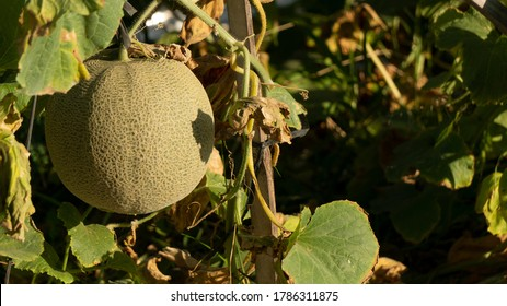 Cucumis melo called melons on a plantation that is entering the harvest season, one of agribusiness with fantastic economic value