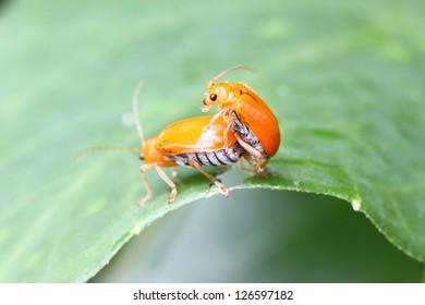 Cucurbit beetle