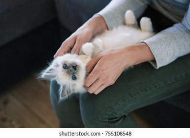 Cuddly sleepy kitten lying on his owner's lap and purring, the woman is cuddling it
