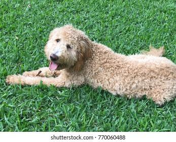 Cue Goldendoodle Puppy