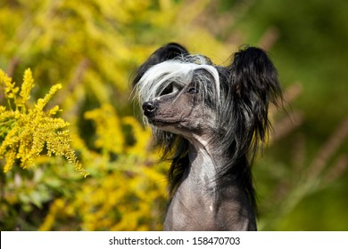 A cuite Chinese Crested Hairless Dog Female in Portrait