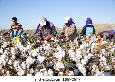 Cukurova, Adana / Turkey - 09/26/2014: Workers collecting cotton in the cotton field, Adana, Turkey.