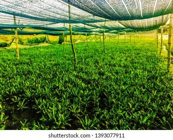 Culantro, long corianders  in the garden.Culantro  a prospective cancer prevention cohort.