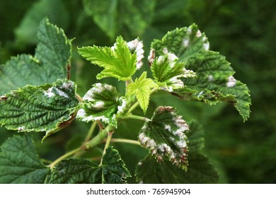 Cultivar currant (Ribes spp.) leaves strongly affected with a powdery mildew in the summer garden