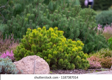 Cultivar dwarf mountain pine Pinus mugo var. pumilio in the rocky garden