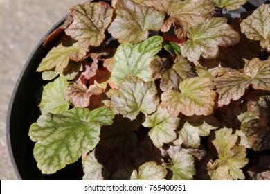 Cultivar Heucherella hybrida 'Quicksilver' in the summer garden