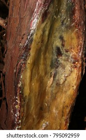 Cultivar Rocky Mountain juniper (Juniperus scopulorum 'Skyrocket') damaged trunk treated by graft seal to stimulate regeneration and prevent diseases and rotting in the summer garden