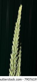 Cultivar sand ryegrass (Leymus arenarius (L.) Hochst., Poaceae) unripe spikes in the summer garden