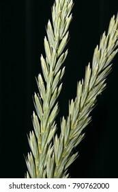 Cultivar sand ryegrass (Leymus arenarius (L.) Hochst., Poaceae) unripe spikes against a black background in the summer garden