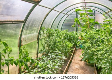 Cultivar tomatoes, cucumbers and peppers growing in the arc polycarbonate greenhouse