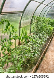 Cultivar tomatoes and peppers growing in the arc polycarbonate greenhouse