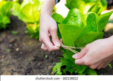 Cultivate lettuce vegetable