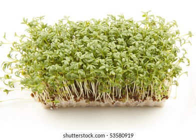 cultivated cress