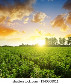 Cultivated field of broad or fava beans ( Vicia Faba ) at sunset.