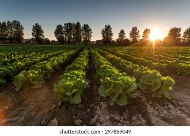 Cultivated field of lettuce growing in rows along the contour line in sunset at Kent, Washington State, USA. Agricultural composition. Panoramic style.