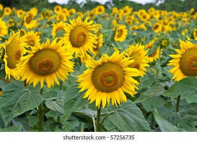 A cultivated field of sunflowers in vibrant colors and shallow depth of field