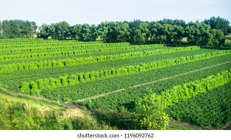 Cultivated field of vegetable growing in rows.