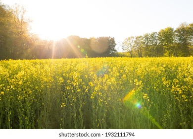 Cultivated landscape in spring, blooming rape field, Germany