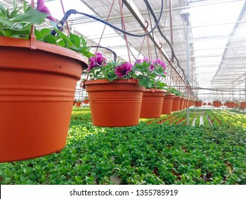 Cultivated ornamental flowers growing in a commercial plactic foil covered horticulture greenhouse