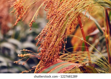 Cultivated proso millet in agricultural field