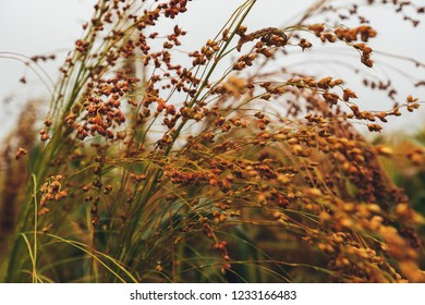 Cultivated sorghum bicolor or great millet in agricultural field