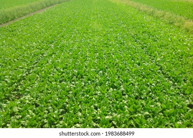 Cultivated sugar beet field, top view. Bird's-eye.