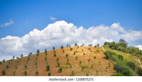 Cultivated trees on a farmland. Blue sky with clouds.