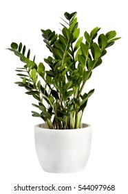 Cultivated Zamioculcas houseplant in a plain white flowerpot over a white background