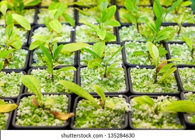 Cultivating the coca plant, Erythroxylum coca, from which cocaine is derived, in small plastic pots for domestic use as a houseplant and whose leaves are chewed dried as a stimulant
