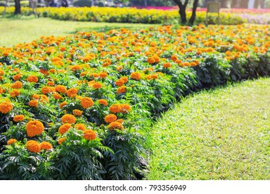 Cultivating marigolds on grass in the garden.