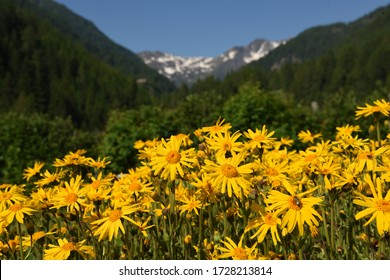 cultivation of arnica flowers for cosmetic and curative use