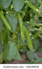 Cultivation of Broad Beans in Vegetable Garden