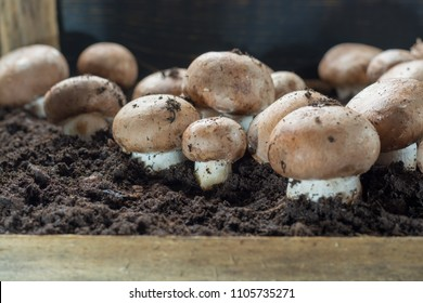 Cultivation of brown champignons mushrooms, grow in underground nature caves in France, ready for harvest close up