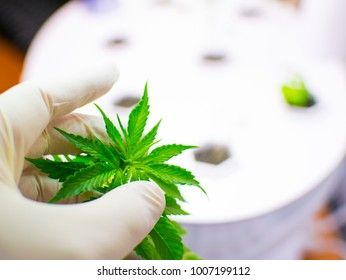 Cultivation of cannabis. A hand in a white rubber glove holds a sheet of marijuana.