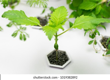 Cultivation of cannabis in a home plant hydroponics.
