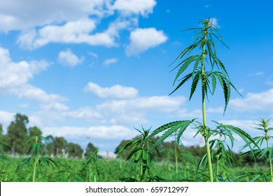cultivation of cannabis for therapeutic purposes.