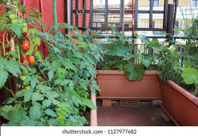 Cultivation of cherry tomatoes in the large pots of the terrace of the house in the city