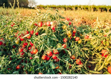 Cultivation of cherry tomatoes in Puglia, south of Italy