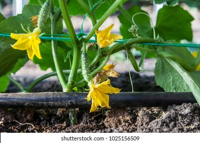 Cultivation of cucumbers in the greenhouse, drip irrigation system close-up