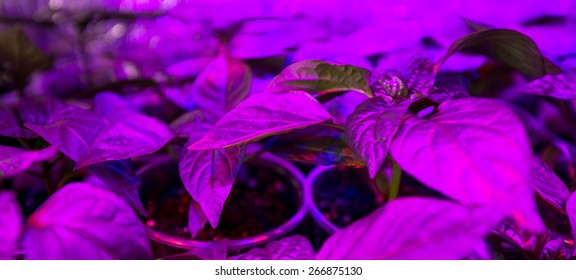 Cultivation of fresh basil and pepper with red and blue leds. The basil is grown without daylight, the leds provide light that plants need to grow.