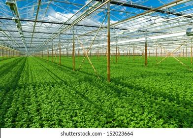 cultivation of golden daisy flowers in a greenhouse in Klazienaveen, netherlands