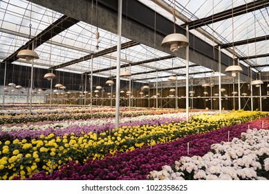 Cultivation of Mums or Chrysanthemums flowers in a greenhouse, Thailand.