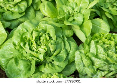 """Cultivation organic vegetable """"Butterhead Lettuce"""" in garden among natural climate."""