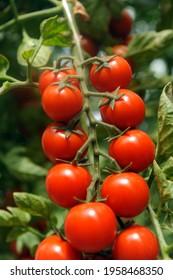 cultivation of Pachino tomatoes in Sicily in the Portopalo di Capo Passero area near Pachino