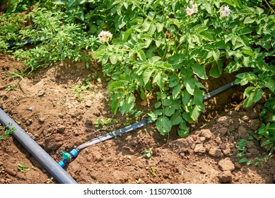 Cultivation of potatoes on a farm field, drip irrigation.