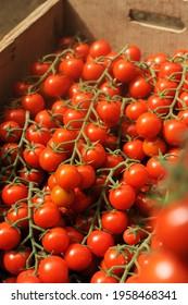 cultivation of real Pachino tomatoes IGP in Sicily in the Portopalo di Capo Passero area near Pachino