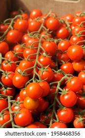 cultivation of real Pachino tomatoes in Sicily in the Portopalo di Capo Passero area near Pachino