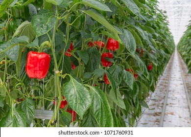 Cultivation of red paprika in a Dutch greenhouse